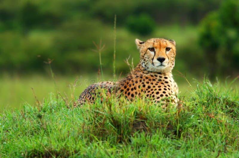 通配非洲的猎豹 免版税图库摄影