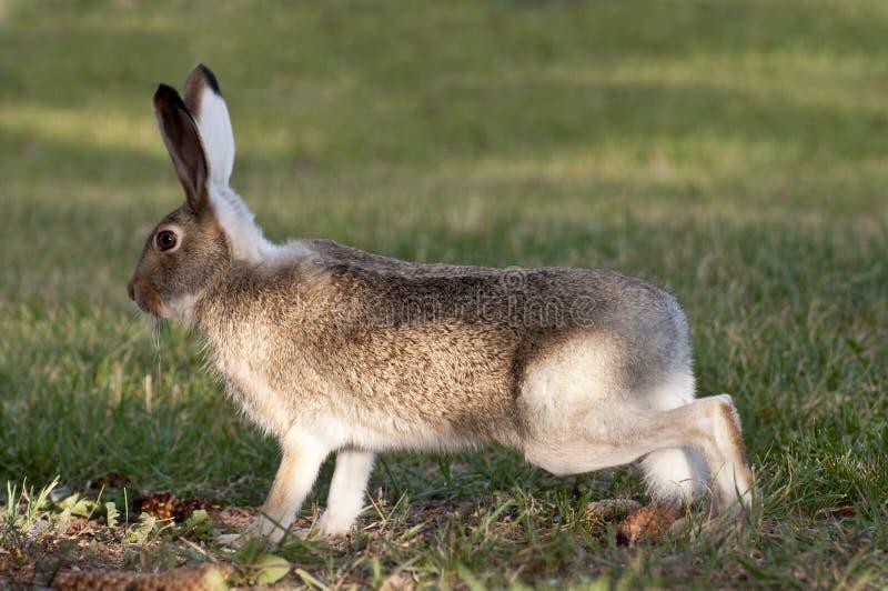 通配预警高的兔子 库存照片