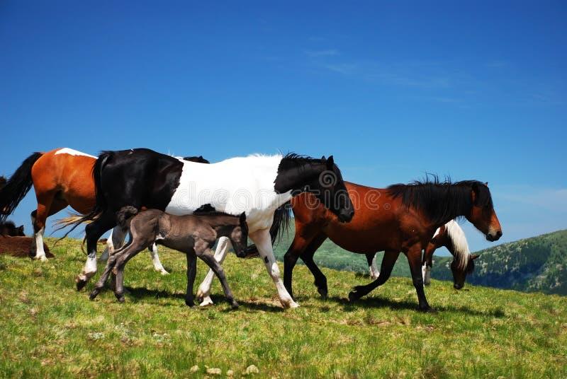 通配马的本质 库存照片