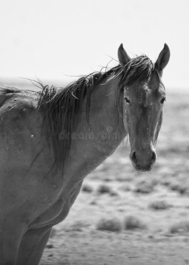 通配马的namib 图库摄影