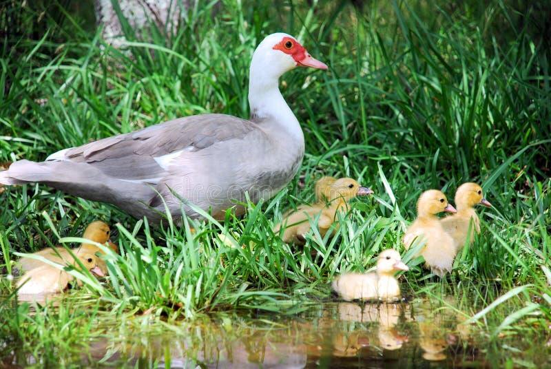 通配鸭子的鸭子 免版税库存图片