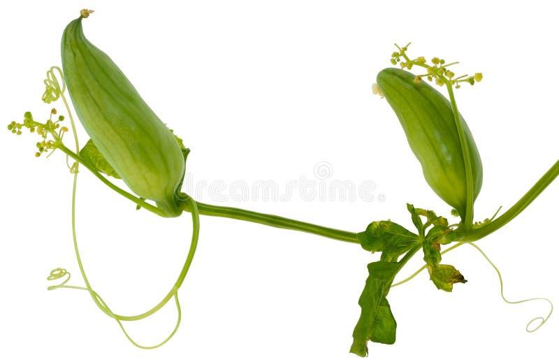 通配黄瓜的manroot 免版税图库摄影