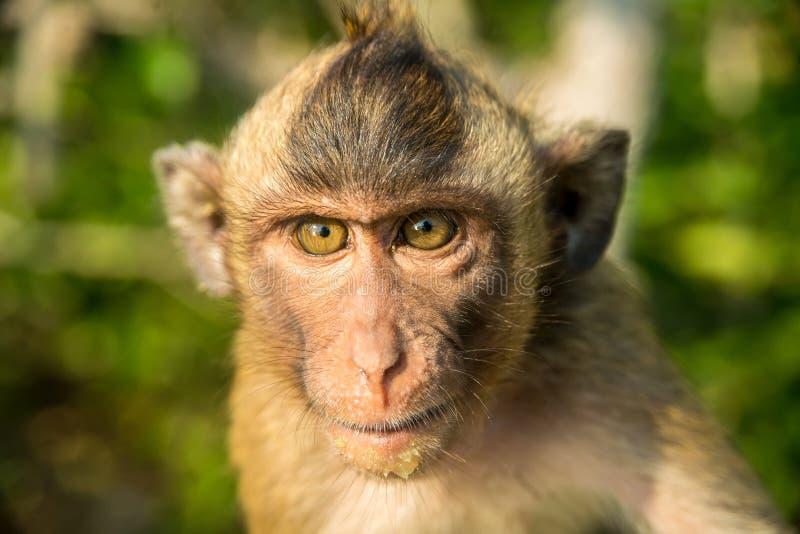 通配猴子的纵向 免版税图库摄影