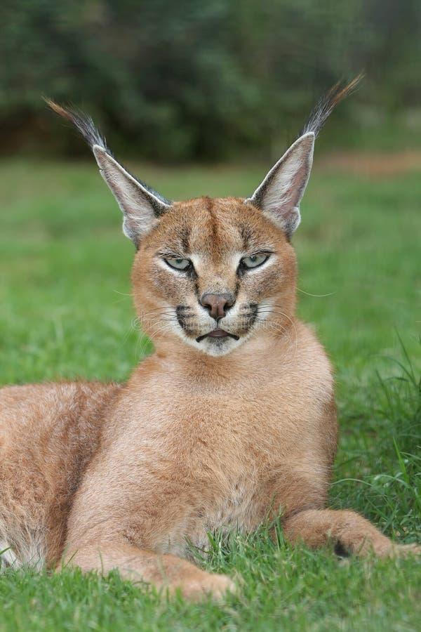 通配caracal猫的天猫座 库存照片