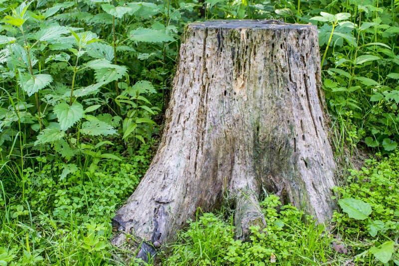 通配dioica恼人的荨麻工厂刺痛的荨麻属 荨麻在树桩旁边增长 免版税库存图片