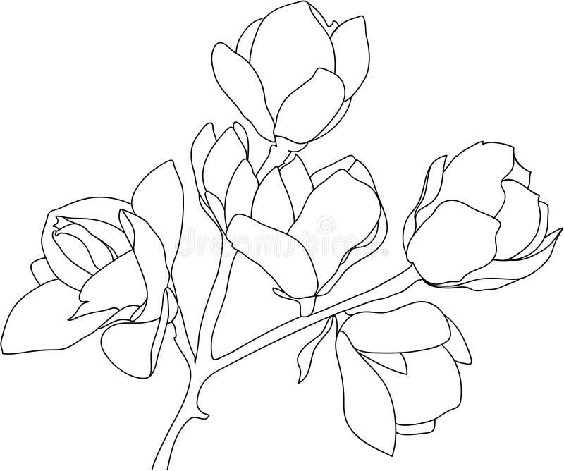 速写开花的木兰,黑在白色背景 向量例证