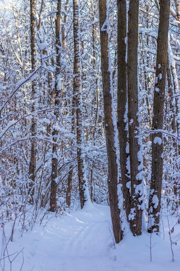 速度滑雪的滑雪轨道在有许多的冬天森林里雪 库存图片
