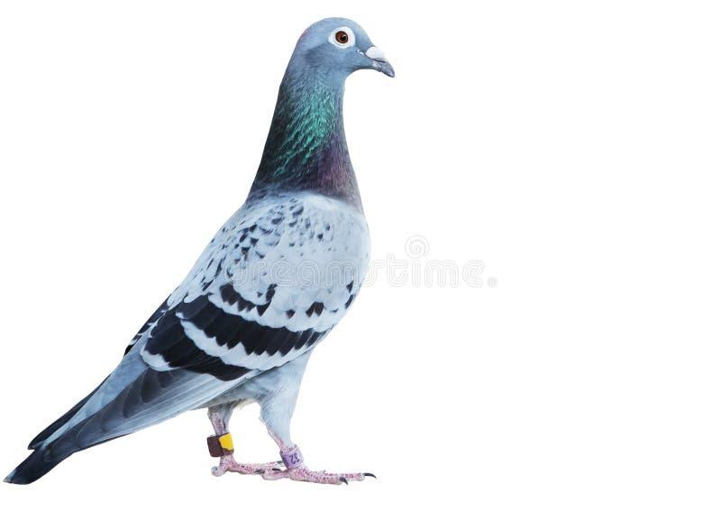 速度赛鸽孤立白色背景画象充分的身体  库存照片