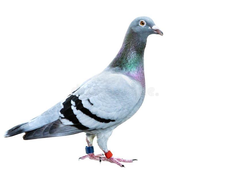 速度赛鸽鸟孤立白色背景充分的身体  免版税库存照片