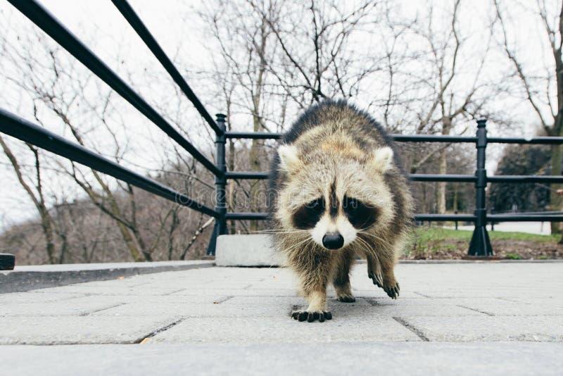 遇见浣熊 免版税图库摄影