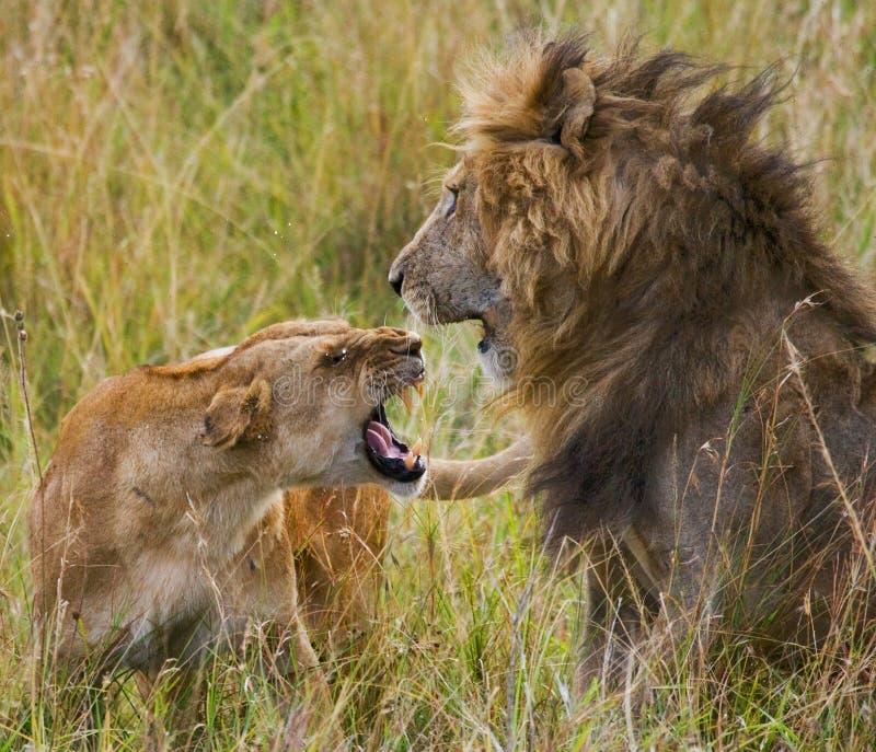 遇见狮子和雌狮在大草原 国家公园 肯尼亚 坦桑尼亚 mara马塞语 serengeti 免版税图库摄影