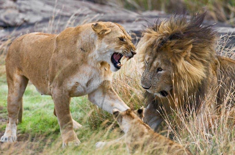 遇见狮子和雌狮在大草原 国家公园 肯尼亚 坦桑尼亚 mara马塞语 serengeti 库存图片