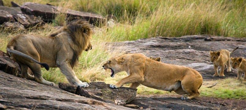 遇见狮子和雌狮在大草原 国家公园 肯尼亚 坦桑尼亚 mara马塞语 serengeti 免版税库存图片