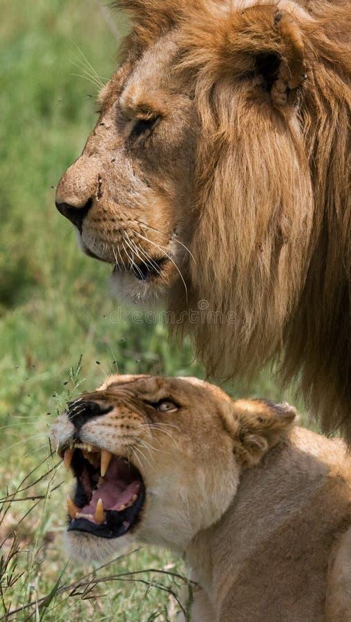 遇见狮子和雌狮在大草原 国家公园 肯尼亚 坦桑尼亚 mara马塞语 serengeti 图库摄影