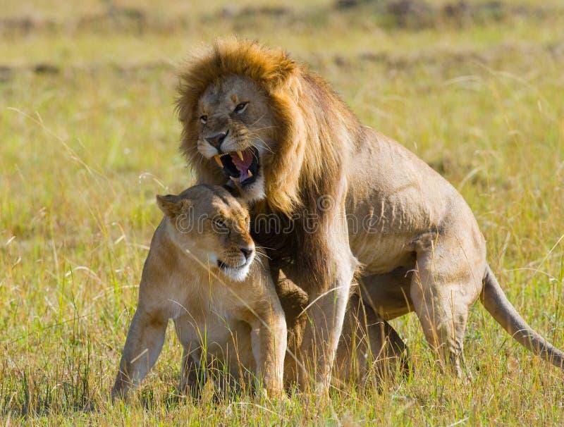 遇见狮子和雌狮在大草原 国家公园 肯尼亚 坦桑尼亚 mara马塞语 serengeti 免版税库存照片