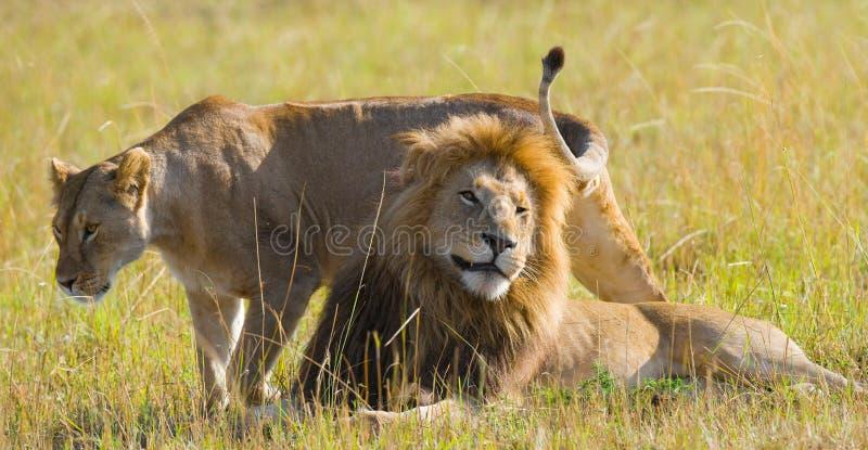 遇见狮子和雌狮在大草原 国家公园 肯尼亚 坦桑尼亚 mara马塞语 serengeti 库存照片