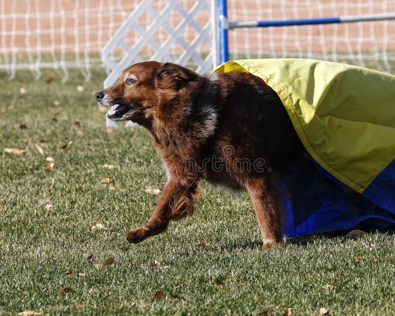 从滑道出来的大红色狗在敏捷性期间 图库摄影