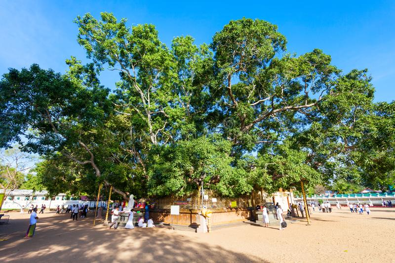 道树, Kataragama寺庙 库存照片