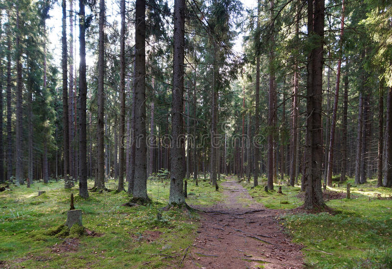 道路在云杉的森林,离开在通过大树,绿色小丘和树桩的丛林,太阳通过增殖比发光 图库摄影