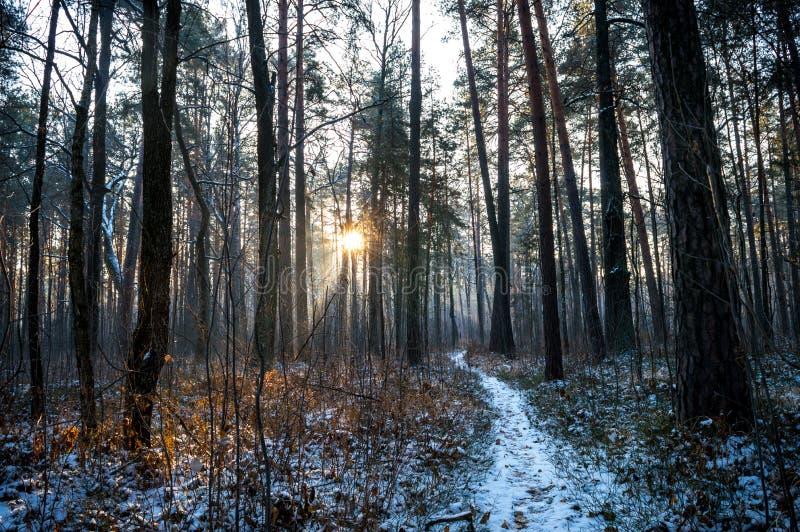 道路在冬天杉木森林里 图库摄影