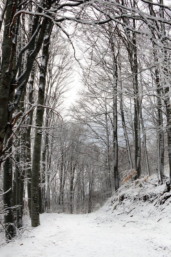 道路在斯诺伊山毛榉森林里 图库摄影