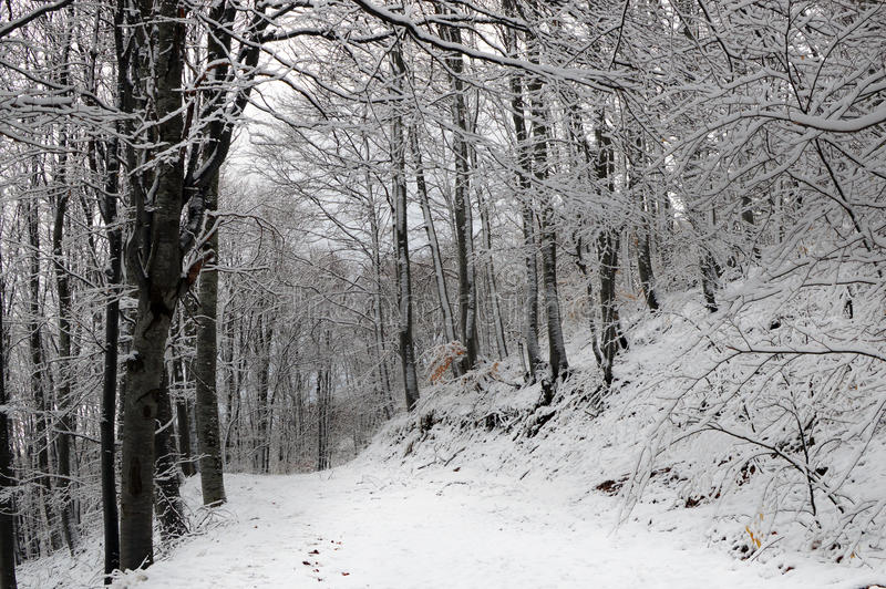 道路在斯诺伊山毛榉森林里 库存图片