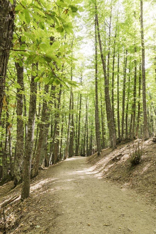 道路在栗树一个老绿色森林里  免版税库存图片