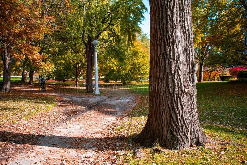 道路在秋天期间的林肯公园芝加哥与在树的一只灰鼠和足迹的一个骑自行车的人 免版税库存图片