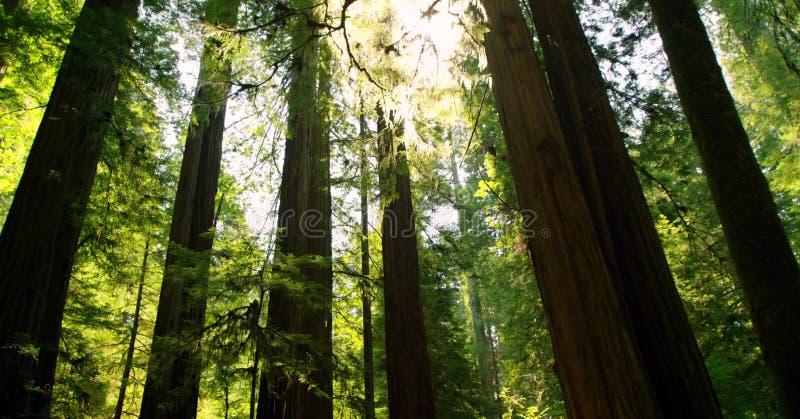 道路穿过全国森林、的红木&国家公园,加利福尼亚 库存图片