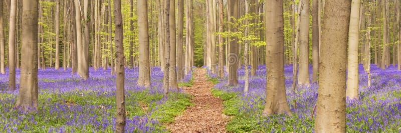道路穿过开花的会开蓝色钟形花的草森林在比利时 免版税库存照片