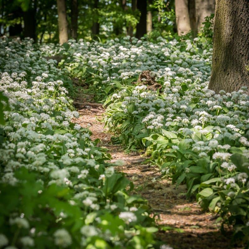 道路穿过落叶林,野生蒜 库存图片