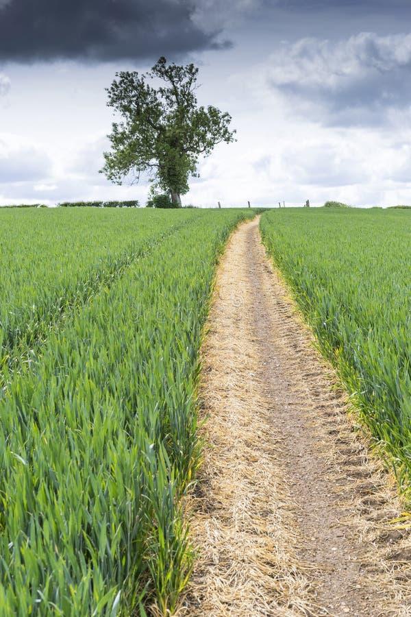 道路穿过年轻麦子的领域 库存照片
