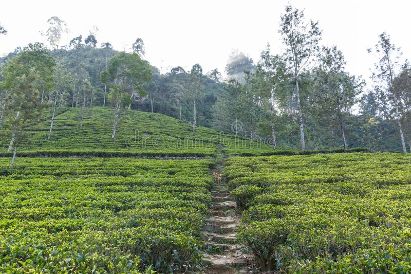 道路风景看法在用绿草和树盖的茶园的,斯里兰卡, 免版税库存图片