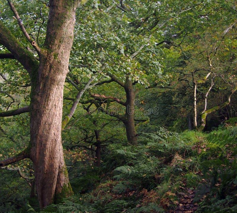 道路,虽然有老扭转的森林地树和叶子的深绿古老密集的森林 免版税库存图片