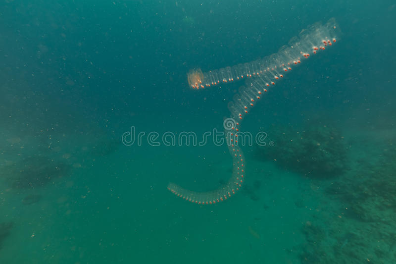 阴道salp和热带礁石在红海。 图库摄影