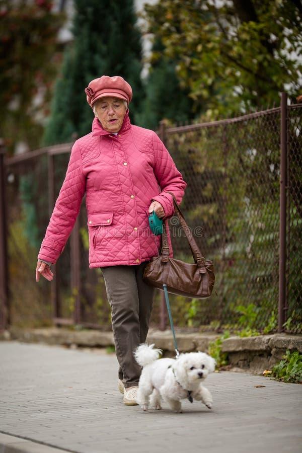 遛资深的妇女她的在城市街道上的小犬座 免版税库存图片