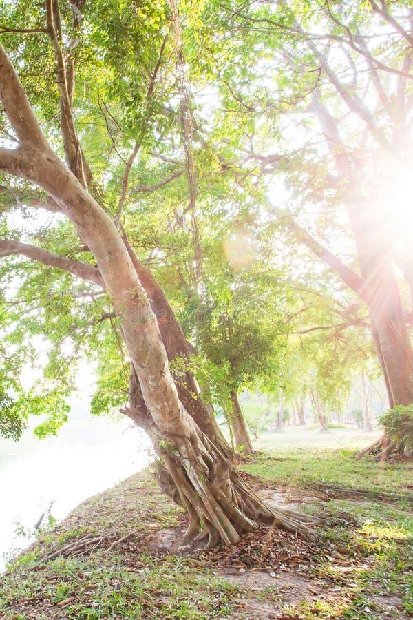 遮荫由树,相当凉快的榕树从事园艺在湖边,光束通过榕树分支发光在绿草 免版税库存图片