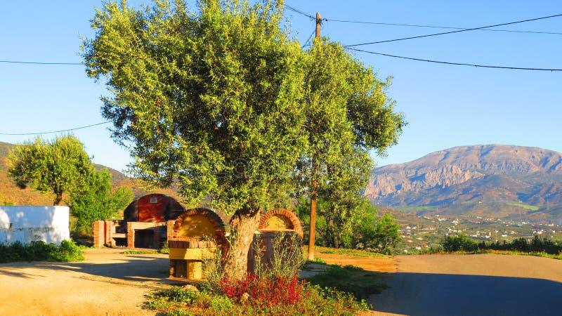 遮蔽牛低谷和barbeue的橄榄树 库存图片
