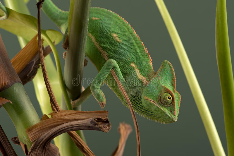 遮遮掩掩变色蜥蜴& x28; Chamaeleo Calyptratus& x29; 库存照片