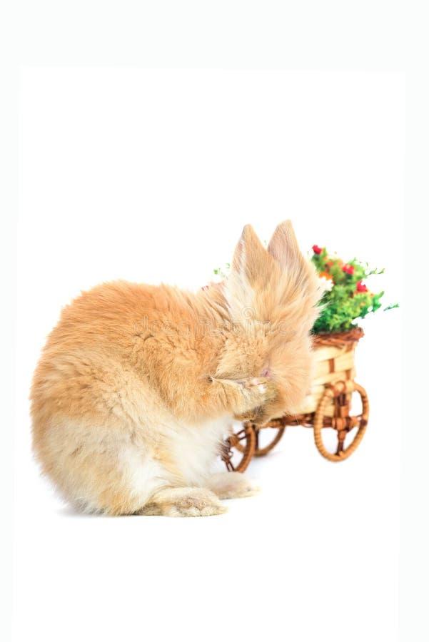 避开在白色背景隔绝的逗人喜爱的小的小兔 图库摄影