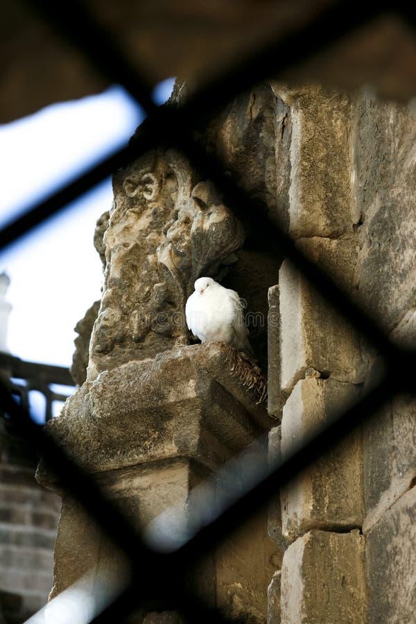 避难在大厦的孤独的鸽子 免版税库存照片