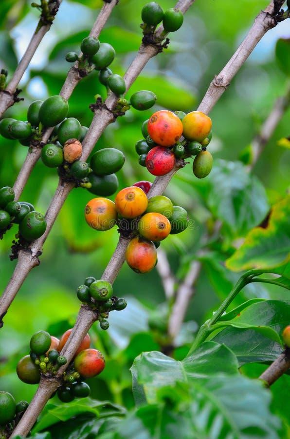 那里咖啡豆出生 免版税库存图片