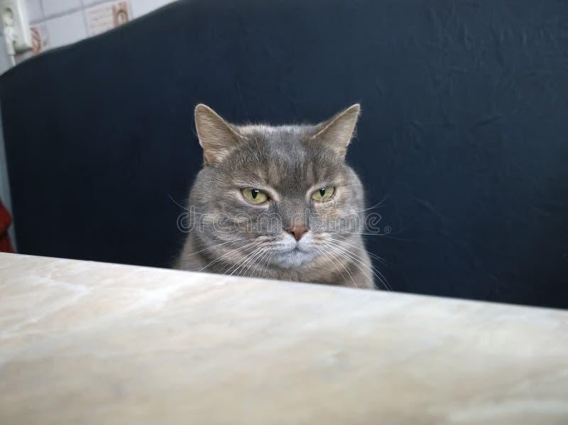 邪恶的猫在桌上 免版税图库摄影