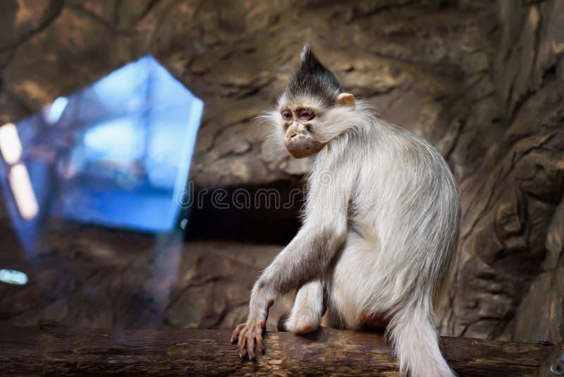 邪恶的猴子画象 免版税库存照片