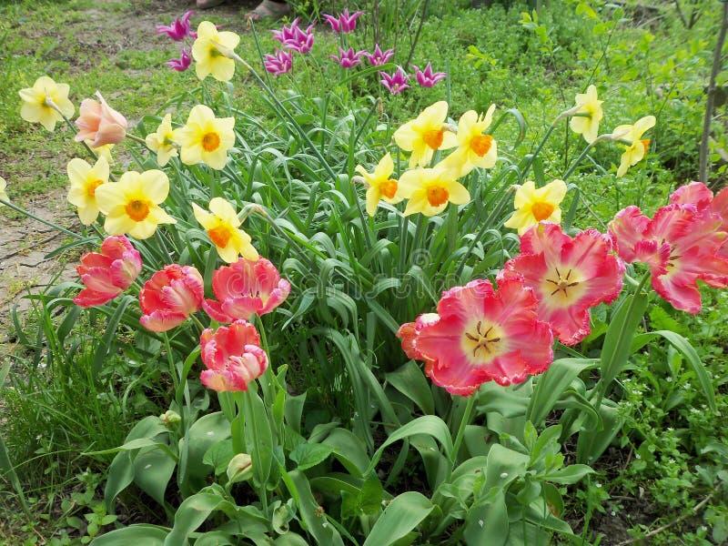 郁金香、水仙的和鹅肠菜 库存图片