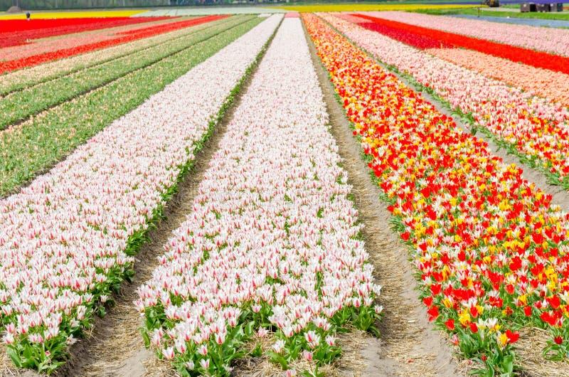 郁金香五颜六色的开花在春天开花耕种领域 Keukenhof、荷兰或者荷兰,欧洲 免版税库存照片