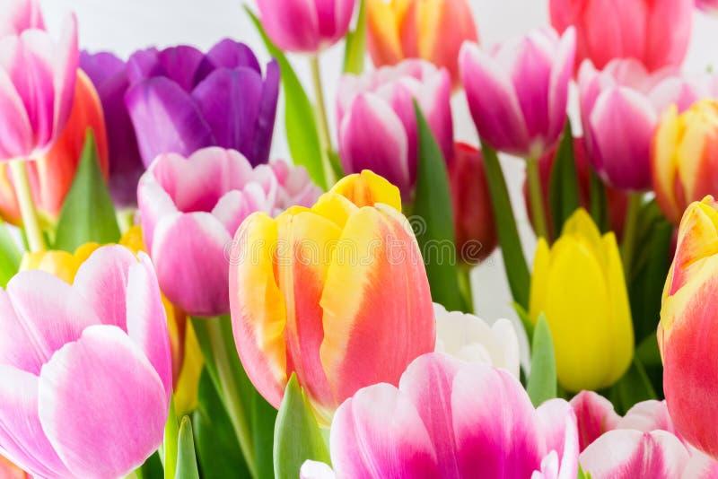 郁金香五颜六色的春天开花桃红色红色黄色和绿色 库存图片