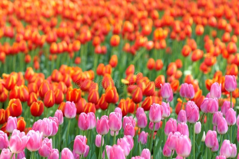 郁金香分配为花坛的区域 免版税库存图片