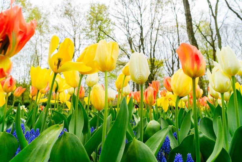 郁金香和会开蓝色钟形花的草花圃 免版税库存图片
