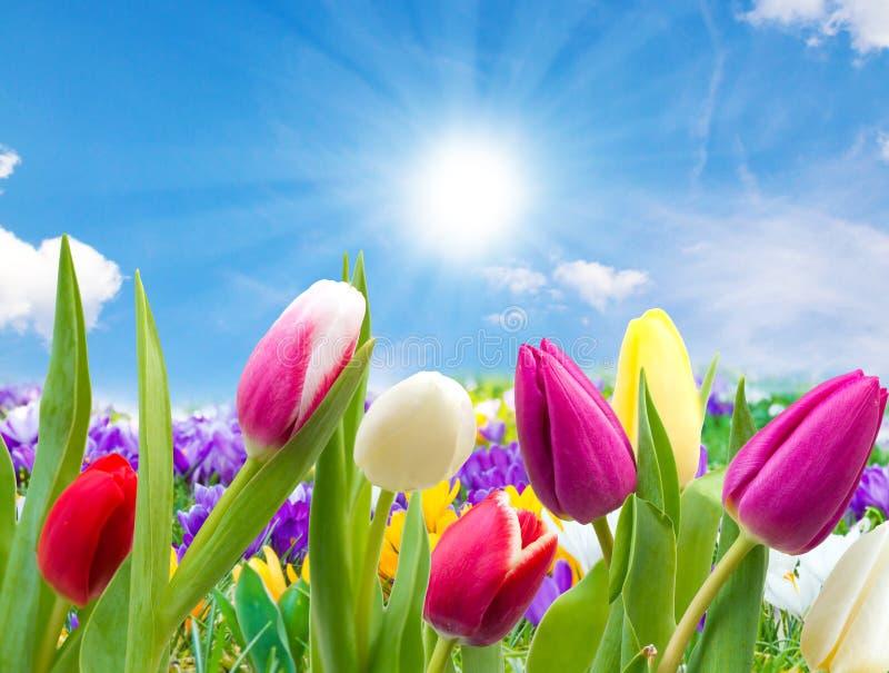 郁金香和番红花在阳光下 免版税库存图片